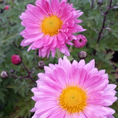 Chrysanthemum 'Vagabond Prince'