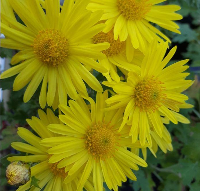 Chrysanthemum 'Wedding Sunshine '