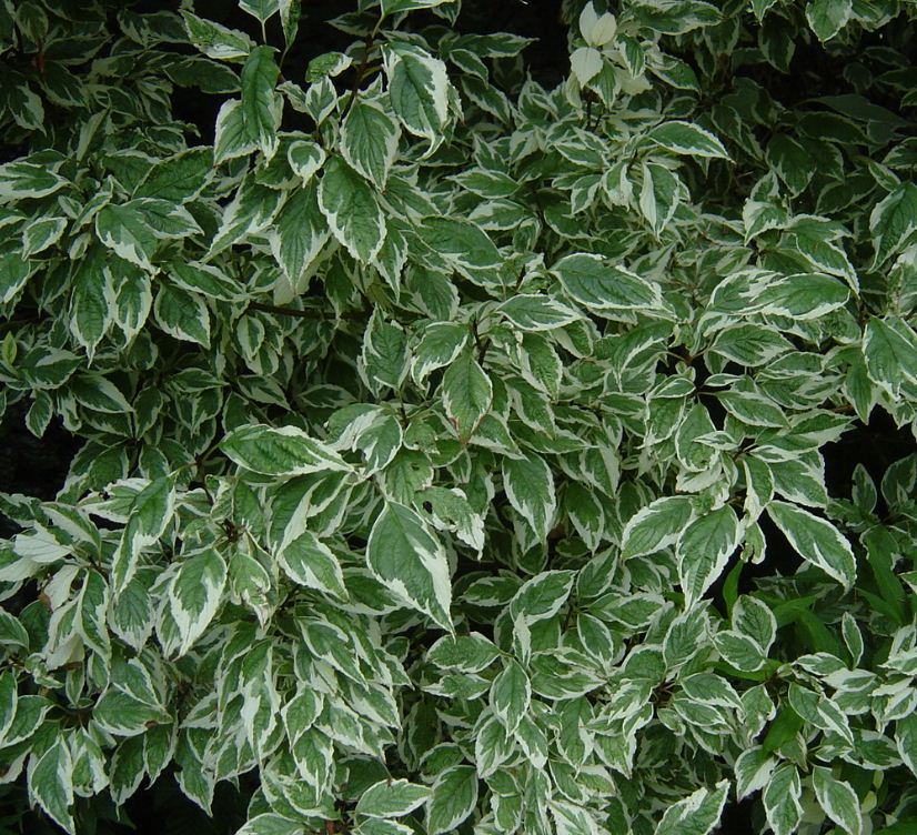cornus alba 39 variegata 39 farmyard nurseries. Black Bedroom Furniture Sets. Home Design Ideas