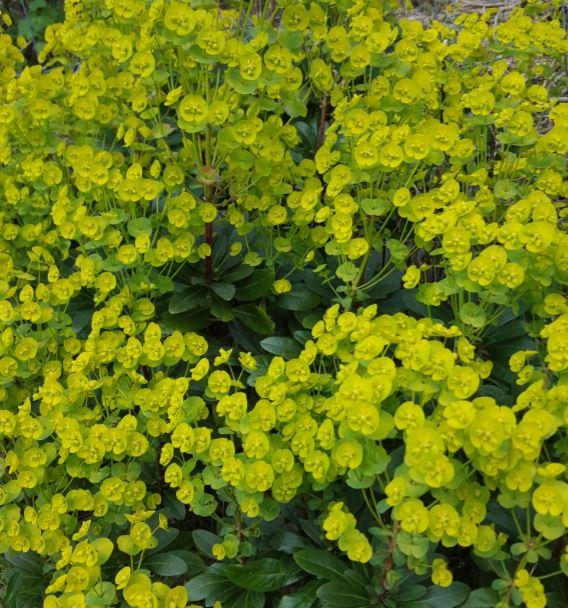 Euphorbia amygdaloides robbiae