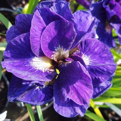 Iris ensata 'Kabluey'