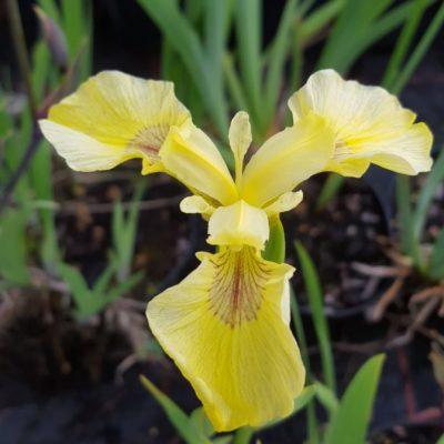 Iris pseudoacorus 'Bastardii'