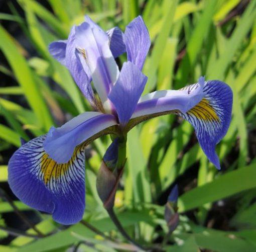 Iris robusta 'Gerald Derby'