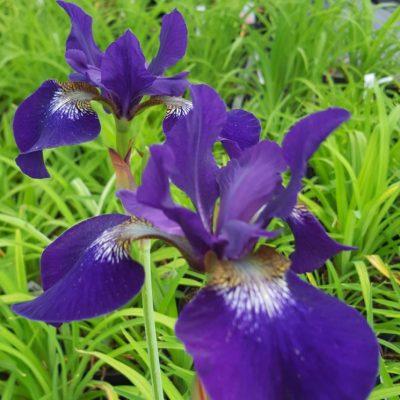 Iris sibirica 'Hubbard'