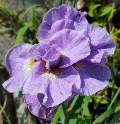 Iris sibirica 'Pink Parfait'