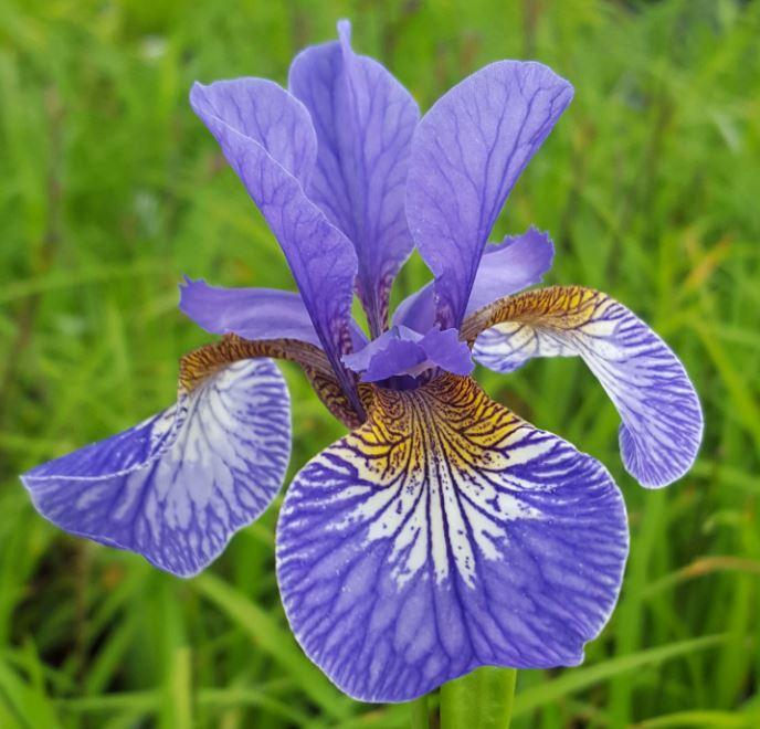 iris sibirica tropic night farmyard nurseries