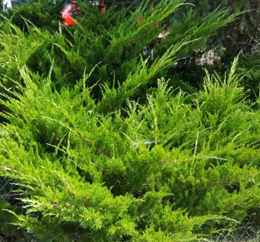 Juniperus X media 'Pfitzeriana'