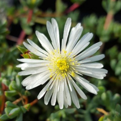 Lampranthus white form