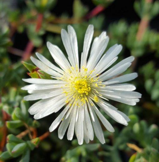 Lampranthus white form