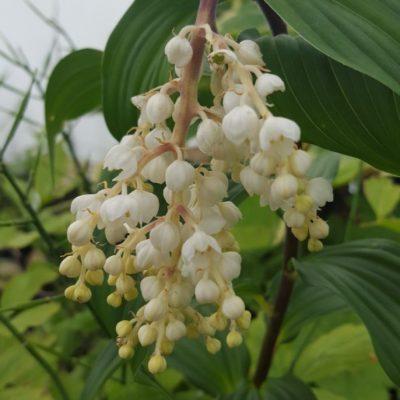 Maianthemum oleracea