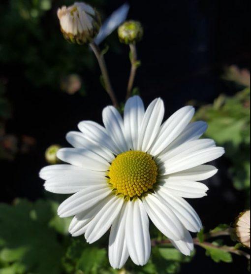 Arctanthemum arcticum 'Polarstern'