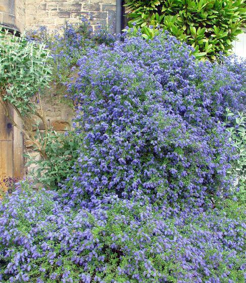 ceanothus 39 pugets blue 39 farmyard nurseries. Black Bedroom Furniture Sets. Home Design Ideas