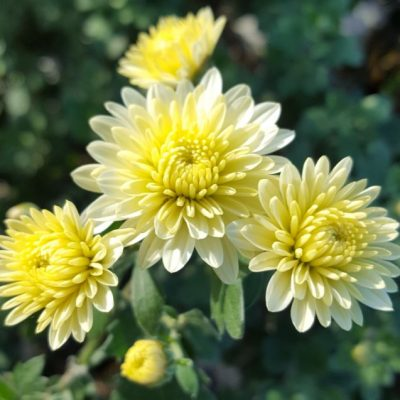 Chrysanthemum 'Angela Blundell'
