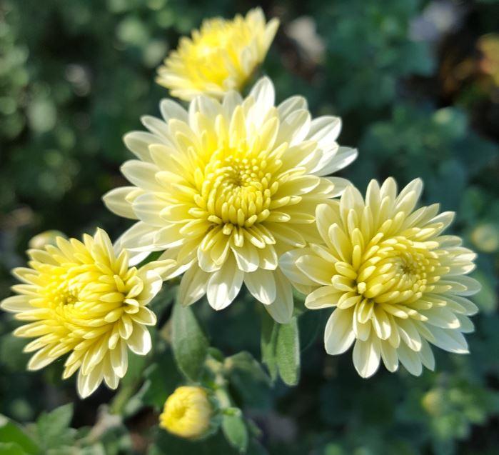 Chrysanthemum 'Angela Blundell'