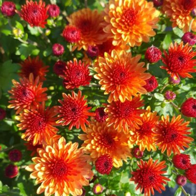 Chrysanthemum 'Autumn Blaze'