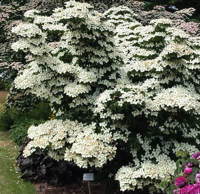 cornus kousa 39 chinensis 39 farmyard nurseries. Black Bedroom Furniture Sets. Home Design Ideas
