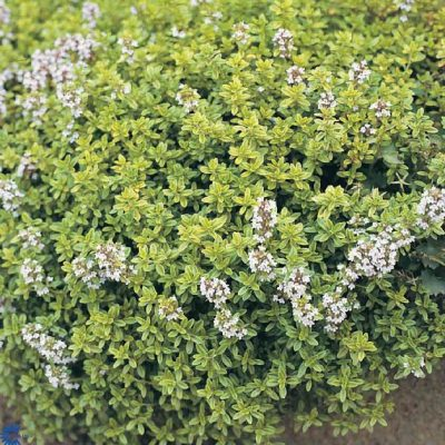 Thymus vulgaris 'Golden Queen'