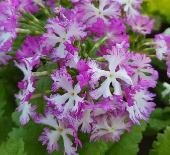 Primula sieboldii national collection