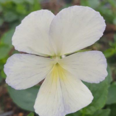 Viola cornuta 'Pale Apollo'