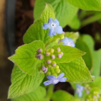 Brunnera macrophylla 'Green Gold'