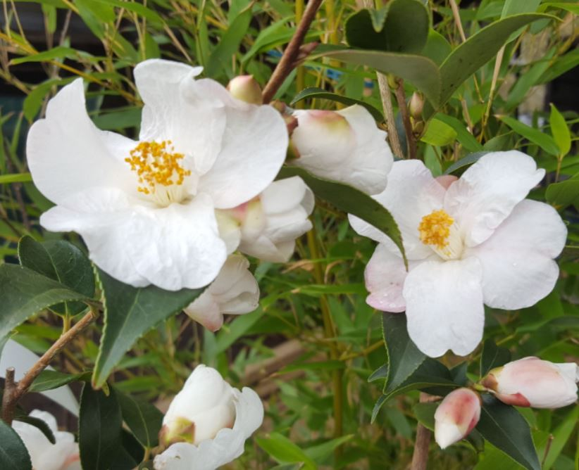 Camellia japonica 'Winton Cornish Snow'