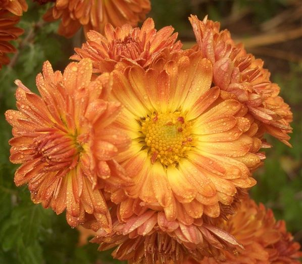 Chrysanthemum 'Apollo'