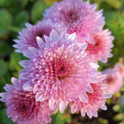 Chrysanthemum 'Colsterworth'