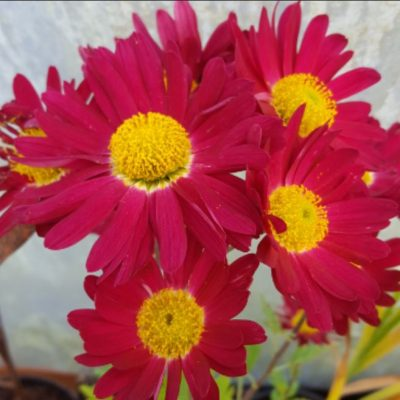 Chrysanthemum 'Cousin Joan'