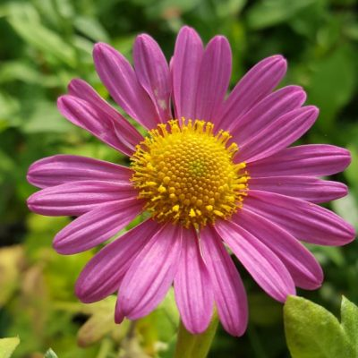Chrysanthemum 'Dulwich Pink'