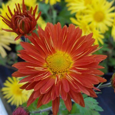 Chrysanthemum 'Marion