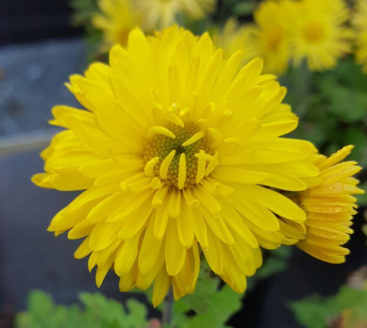 Chrysanthemum 'Margery Fish'