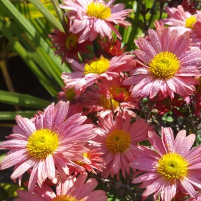 Chrysanthemum 'Rose Madder'