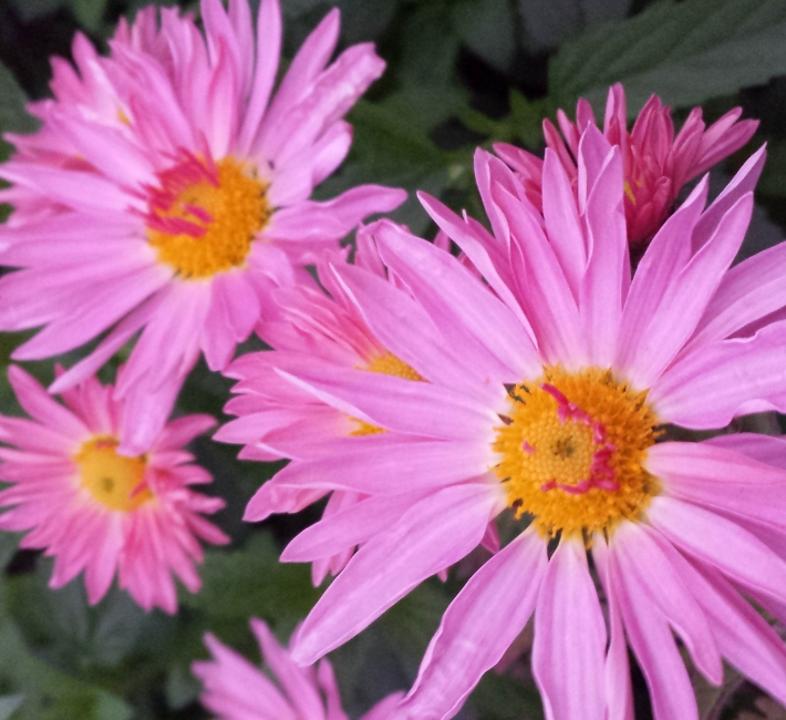 Hardy Chrysanthemums, great for autumn colour