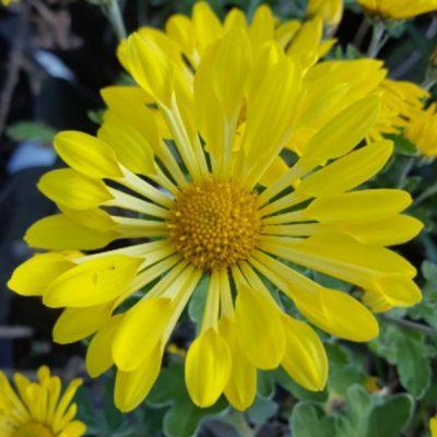 Chrysanthemum 'Shining Light'