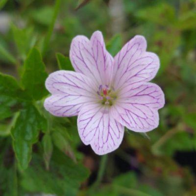 Geranium oxonianum 'Walters Gift'