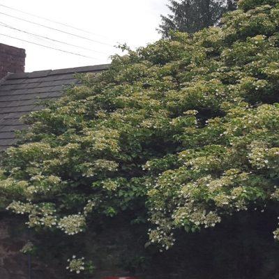 Hydrangea petiolaris (Climbing Hydrangea)