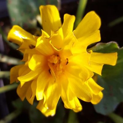 Ranunculus ficaria 'Double Bronze'