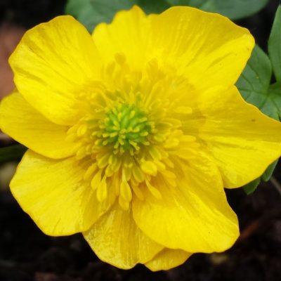 Ranunculus montanus 'Molten Gold'