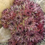 Sempervivum 'Atropurpureum' Sempervivums
