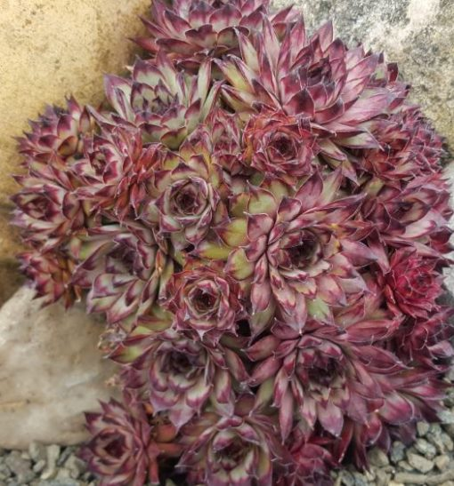 Sempervivum 'Atropurpureum'