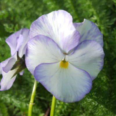 Viola cornuta 'Magpie'