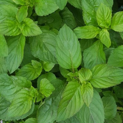 Herb Mint Lime