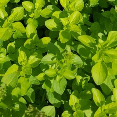 Herb Marjoram Golden