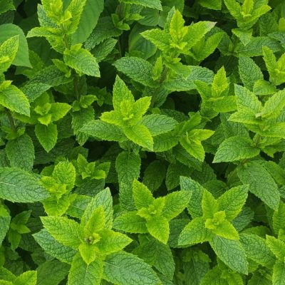 Herb Mint Moroccan