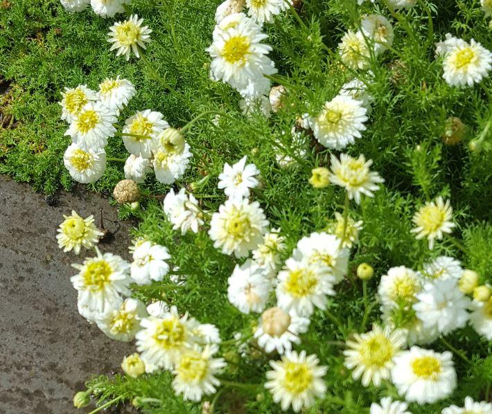 Chamaemelum nobile 'Flore-plena'