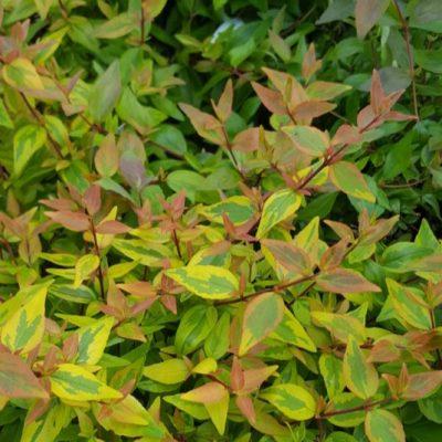 Abelia grandiflora 'Sunshine Daydream'