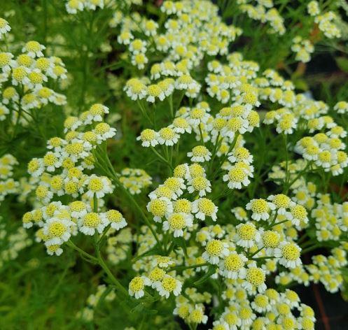 Achillea Cassis 2 Litre Pot Good For Butterflies Bees Garden