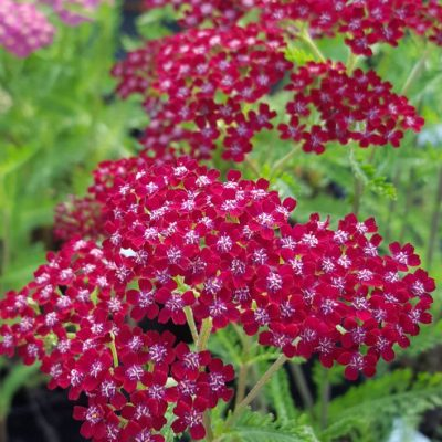 Achillea millefolium 'Summerwine'