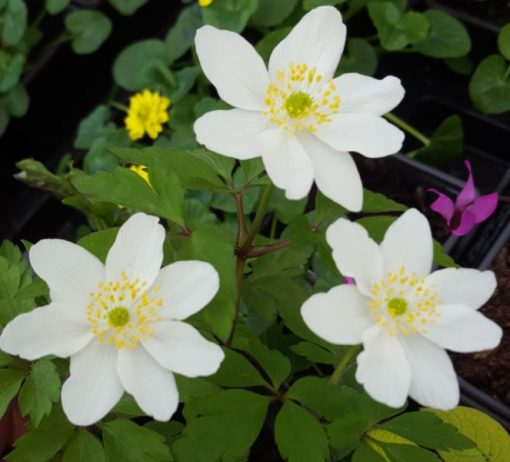 Anemone nemorosa 'Wilks' White'