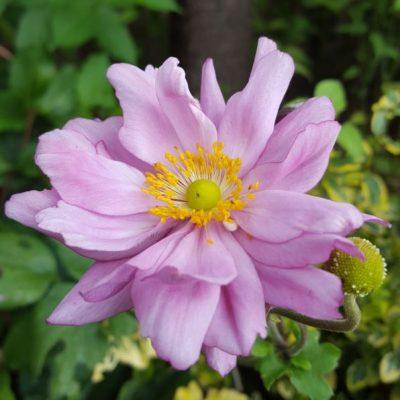 Anemone hybrida 'Konigin Charlotte'